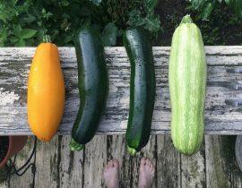 varietà zucchine